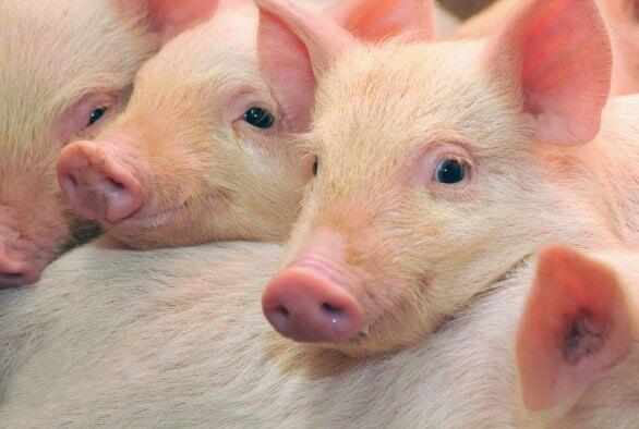 Compressoren in de varkenshouderijen